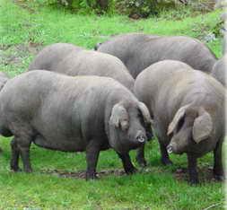 cerdo-iberico-gordo