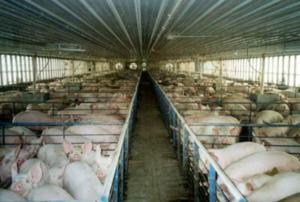 granja-de-cerdos